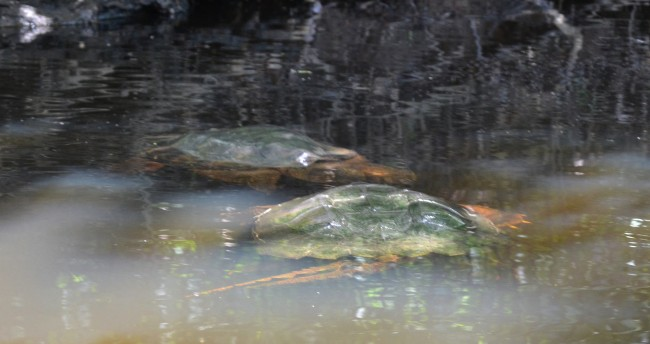 snapping turtles on the Charles River