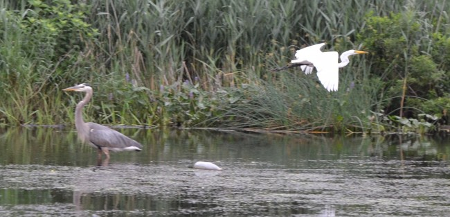 Great Blue Heron and a Snowy Egret